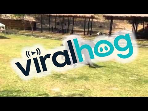 Elefante salva a su cuidador cuando está en 'peligro'