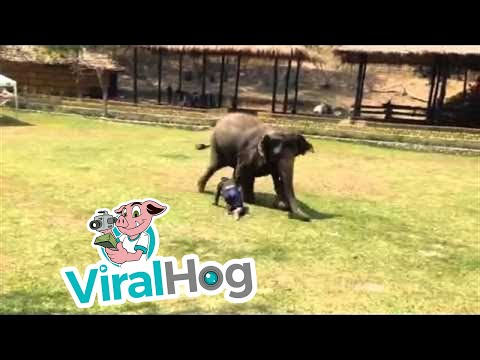 大象發現自己的飼養員被人攻擊倒地後,牠當下的直接反應讓大家整顆心都暖了起來!