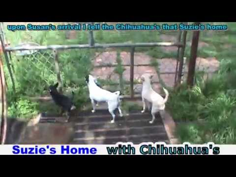 Suzies Home with the Chihuahuas barking 07Apr15