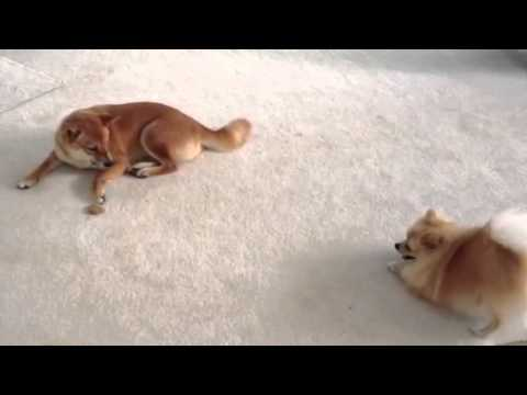 Clever Shiba Inu Ellie uses dog biscuit to fish for Pomerainian Mr. Jack – MUST WATCH