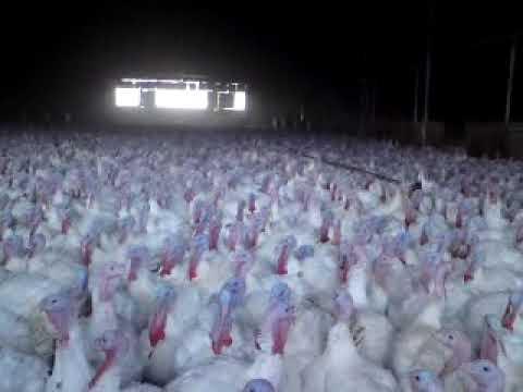 Turkey farm humour