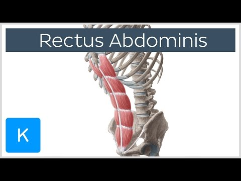 Rectus Abdominis Muscle Overview - Anatomy |Kenhub