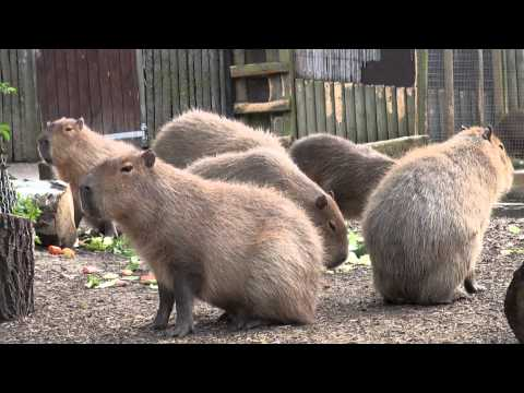 feeding time - Feeding time for the Giant Guinea Pigs at Chessington World of Adventures. The Capybara (Hydrochoerus hydrochaeris) is the largest rodent in the world, follo...
