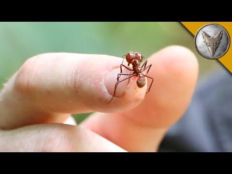 這種螞蟻擁有世界排名的超強攻擊力,主持人讓牠咬整整60秒