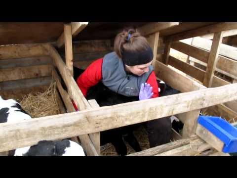Unassisted venipuncture of calf