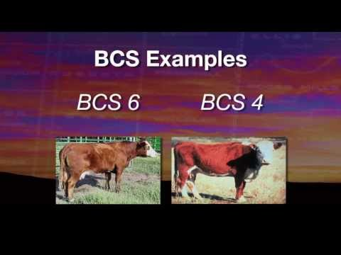 Cow-calf corner: Body condition score affects on calving