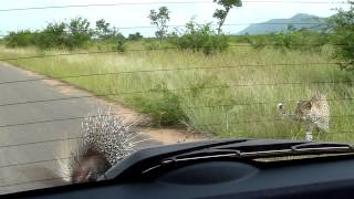 Встреча леопарда и дикобраза