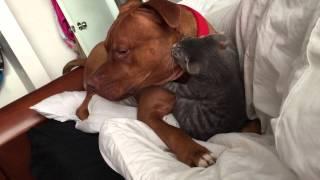 O Pitbull e o gatinho: Linda amizade