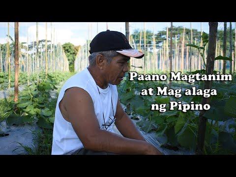 Paano Magtanim at Mag-alaga ng Pipino    By:Tata Johnny's TV    Vlog #14