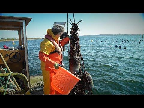 EU-Projekt: Muscheln als Saubermacher der Ostsee