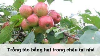 Tận dụng những hạt táo sau khi ăn quả, bạn có thể tự tay trồng những cây táo nhỏ xinh ngay trong ngôi nhà của mình. Vừa có quả ăn vừa có cây làm cảnh trong n...
