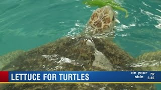 Local fourth graders grow hydroponic lettuce for sea turtles at Clearwater Marine Aquarium