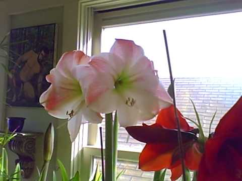 how to fertilize amaryllis plants