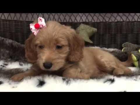 Gorgeous, affectionate Mini Goldendoodle Princess!