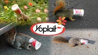 Video Yoplait Yogurt NEEDS to change...  - Save the Squirrels Initiative MP3, 3GP, MP4, WEBM, AVI, FLV Januari 2019