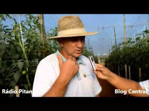 Plantação de Tomates em Pitanga xvid