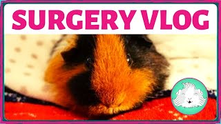 Vlogging before and after Twiglet the guinea pig's spay surgery - the reason for the operation, her setup when she gets home and her recovery.One thing I forgot to mention! She was on medication for pain relief (metacam) and a gut stimulant. I gave these twice a day for 5 days after the operation. I hope you enjoyed the video, please give us a thumbs up is you did!
