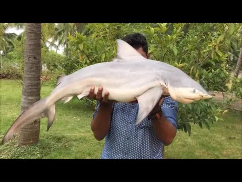 Cooking a 40 Pound Shark in My Village - Cooking a Shark in the Traditional Way