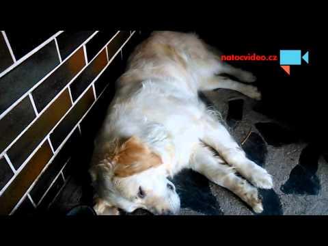 náš pes štěká ve snu.