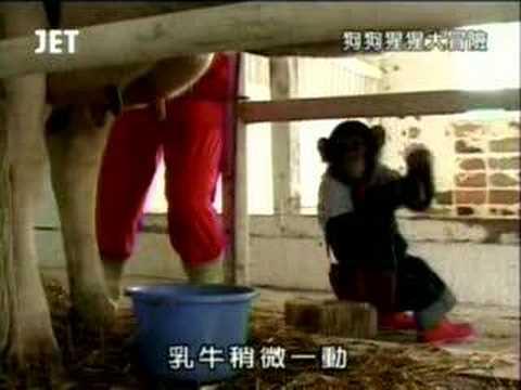 狗狗猩猩大冒險之小龐擠牛奶篇