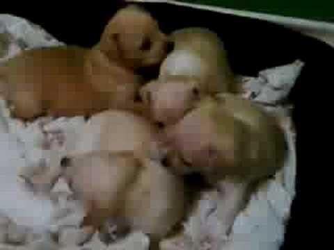 Kenya's Chihuahua puppies!