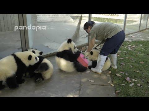 Pandojen aitaus on todella vaikea siivota – Katso video ja tiedät miksi!