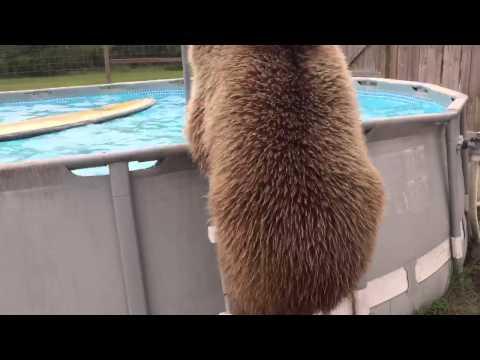 Bruiser, l'orso che si tuffa in piscina
