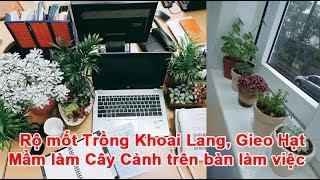 Rộ mốt Trồng Khoai Lang, Gieo Hạt Mầm làm Cây Cảnh trên bàn làm việc Trồng Khoai Lang, Gieo Hạt Mầm, cây cảnh, làm cây cảnh, trồng cây cảnh, gieo cây trồng T...