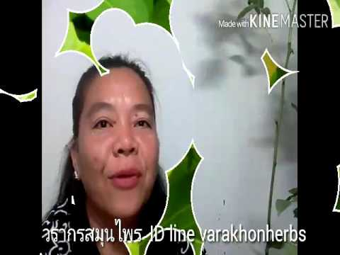 สมุนไพรไทย thaiherbs Ep3 ต้นมันปู ผักพื้นบ้านต้านอนุมูลอิสระ วรากรสมุนไพร