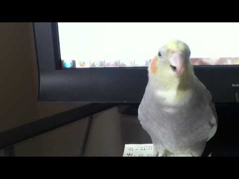 Barking Cockatiel