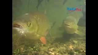 Голавль (подводная съёмка)