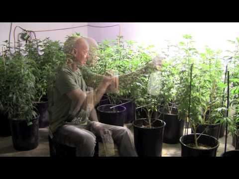 Pest Control for Marijuana Cultivation.