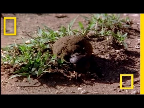 Still image from Egypt: African Dung Beetle