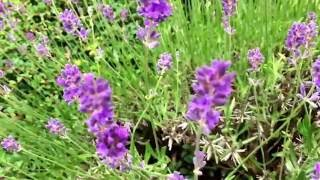 Lavender 2016 ^_^