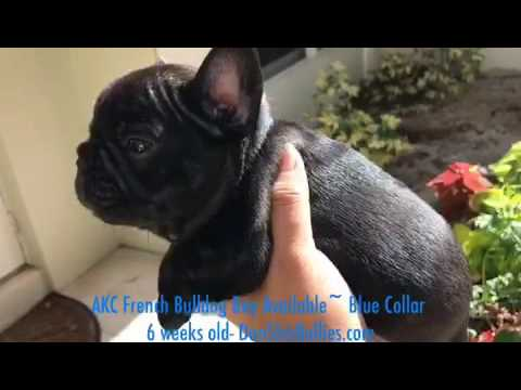 AKC Black Brindle Boy 6 weeks old