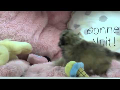 Mixed Breed Teacup Puppies For 5ale Puppy Boutique Store 2014