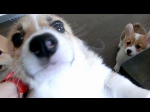 「[イヌ]飼い主さんに突撃する10匹のコーギー。」のイメージ