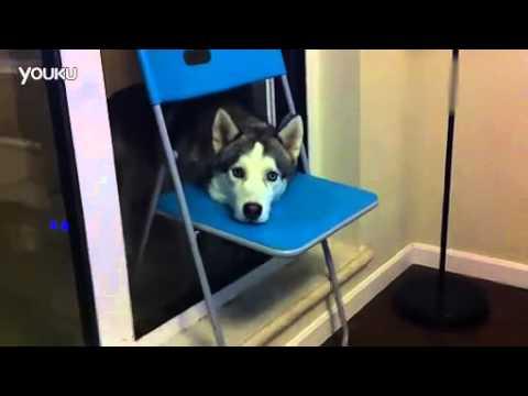 主人怕哈士奇出門被當成狼打死,特意教牠學狗叫