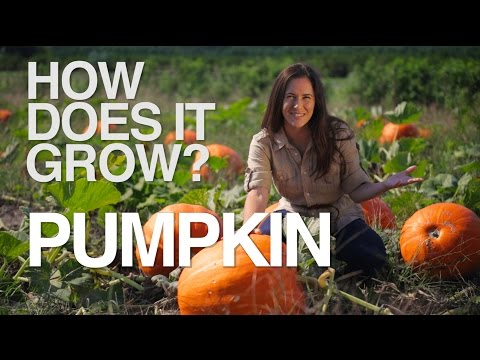 How Halloween Pumpkins Are Grown