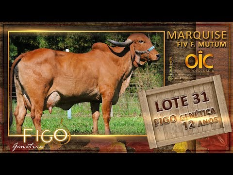 LOTE 31 - MARQUISE FIV F. MUTUM