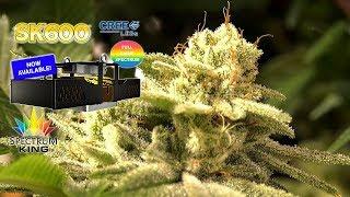 Sour Diesel LED GROWN - Spectrum King SK 600 by Urban Grower
