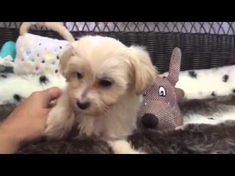 Teddy Bear, Hava-poo baby boy
