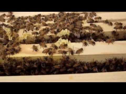 Checking our honeybee hive, beekeeping, beekeeper, queen bee, Carniolan