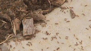 جيوش من النمل القاتل تجتاح أستراليا