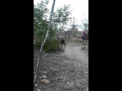 Pega de boi no mato em Tacaimbo pe(8)