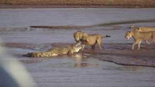 Lions vs Crocodile big Fight