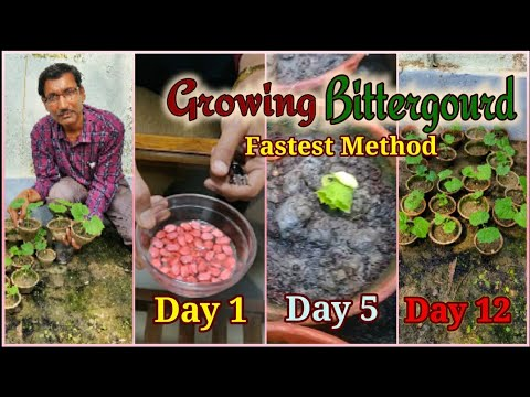 Fastest Method of Bittergourd growing . No one told you Before