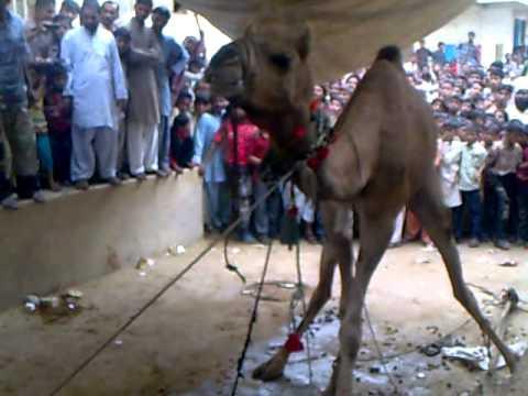 Video Eid ul azha in karachi Baldia town download in MP3, 3GP, MP4, WEBM, AVI, FLV January 2017