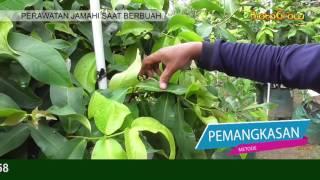 Video JAMAHI MULAI BERBUAH (Perawatan Jambu Madu Hijau Saat berbuah) MP3, 3GP, MP4, WEBM, AVI, FLV Desember 2018