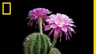 Time-Lapse: Beautiful Cacti Bloom Before Your Eyes
